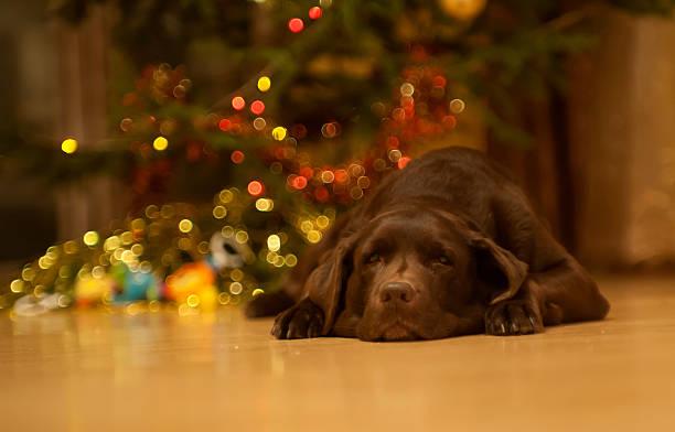 Chocolate Labrador Retriever Resting by the Christmas Tree stock photo