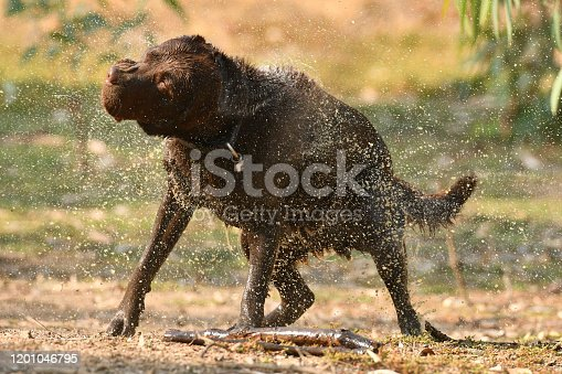 Chocolate Labrador shaking off water with water droplets flying