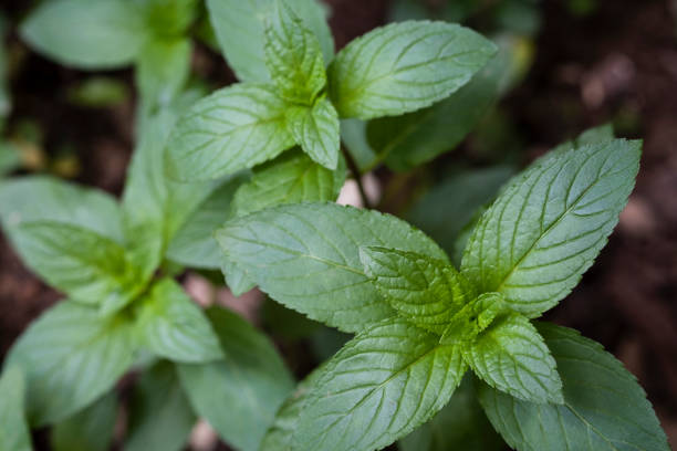 Chocolate Mint Growing in the Garden stock photo