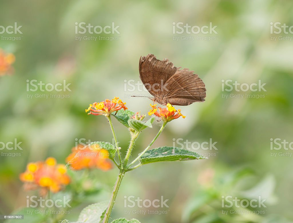 Chocolate Pansy (Junonia iphita) butterfly stock photo