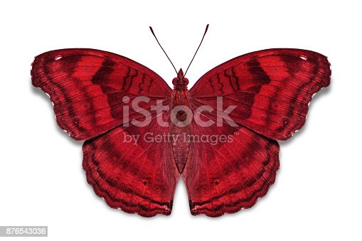 istock Chocolate Pansy butterfly 876543036
