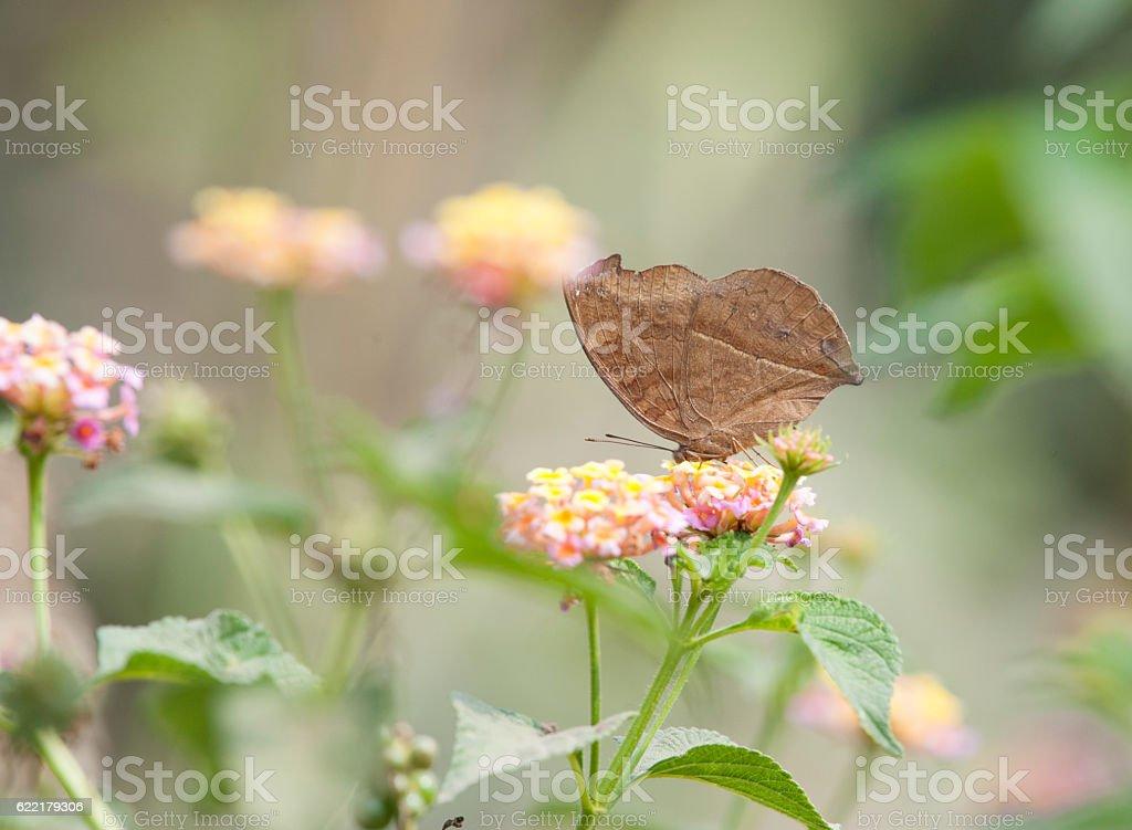 Chocolate Pansy (Junonia iphita) stock photo