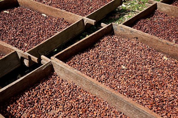 Chocolate production -- cocoa fermentation in Nicaragua stock photo
