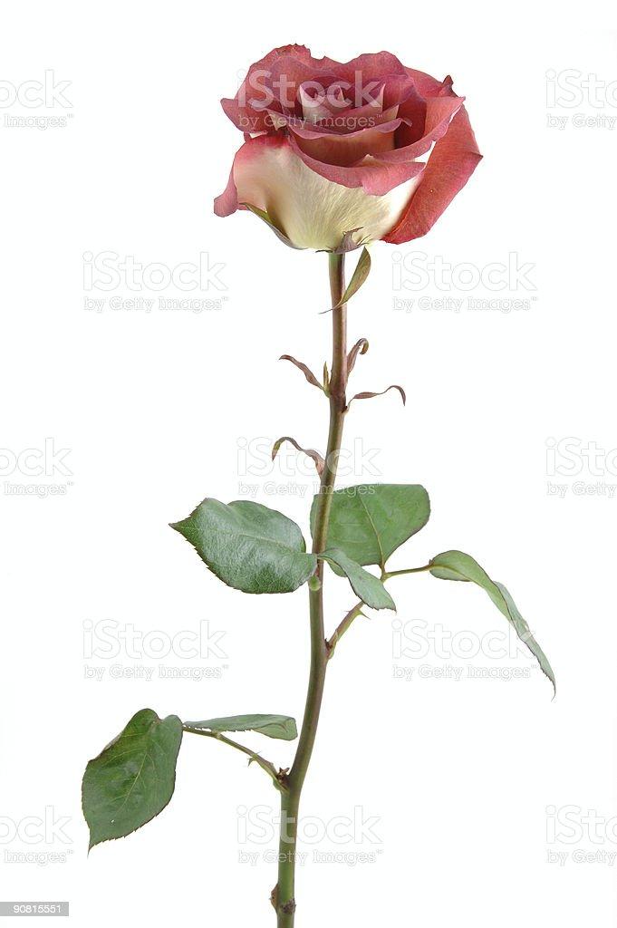 Chocolate red rose stock photo