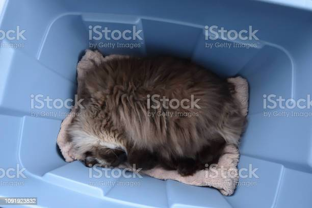 Chocolate seal point ragdoll cat sleeping in a gray plastic bin close picture id1091923832?b=1&k=6&m=1091923832&s=612x612&h=c2p7afjwtoyrjevjm yykc8ak ahev7esu13r c gg8=
