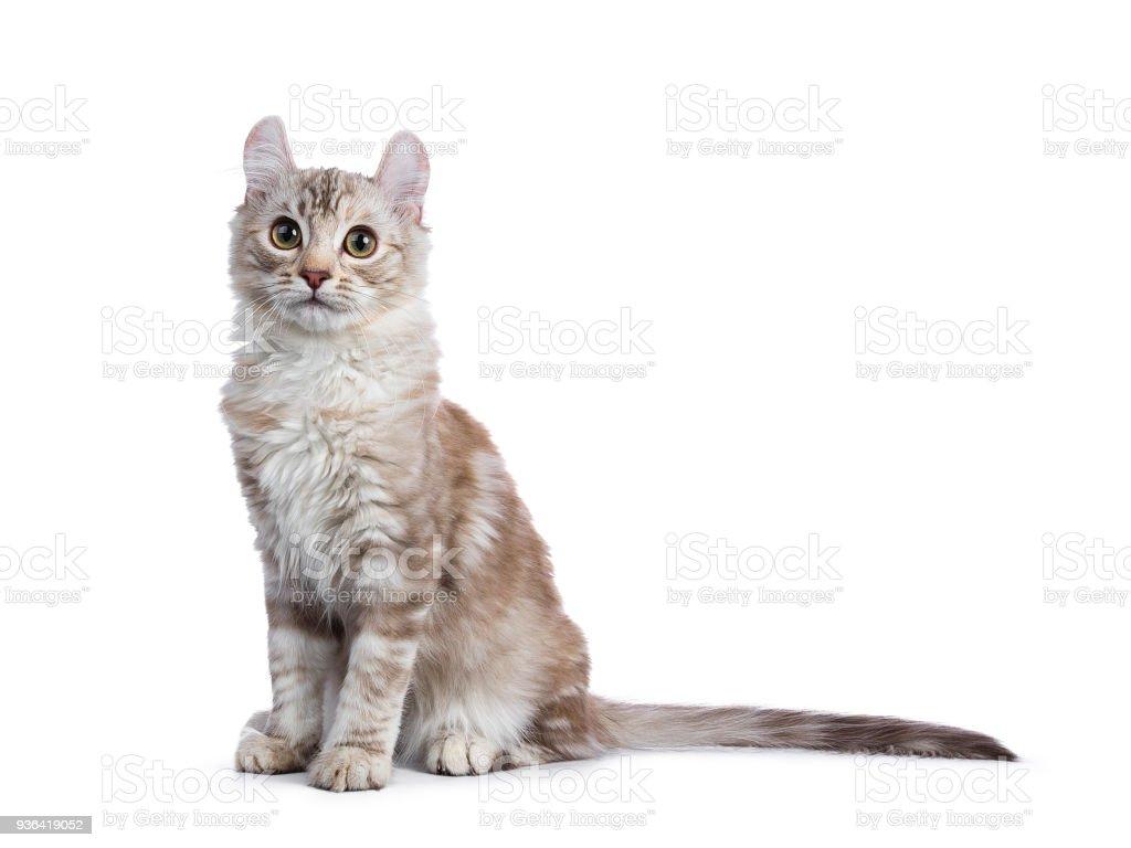 Chocolade silver tortie tabby American curl kat / kitten zitten kant manieren geïsoleerd op witte achtergrond foto