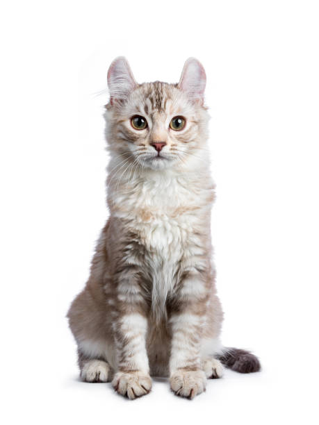 Chocolate silver tortie tabby american curl cat kitten sitting up picture id936419068?b=1&k=6&m=936419068&s=612x612&w=0&h=najdpkqwffdhopycayt86u6yvbqxcnvmrjvzvpbpiyo=