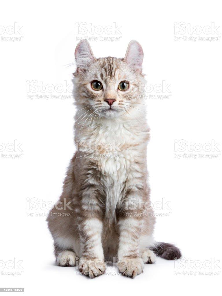 Chocolade silver tortie tabby American curl kat / kitten zitten direct geïsoleerd op een witte achtergrond foto