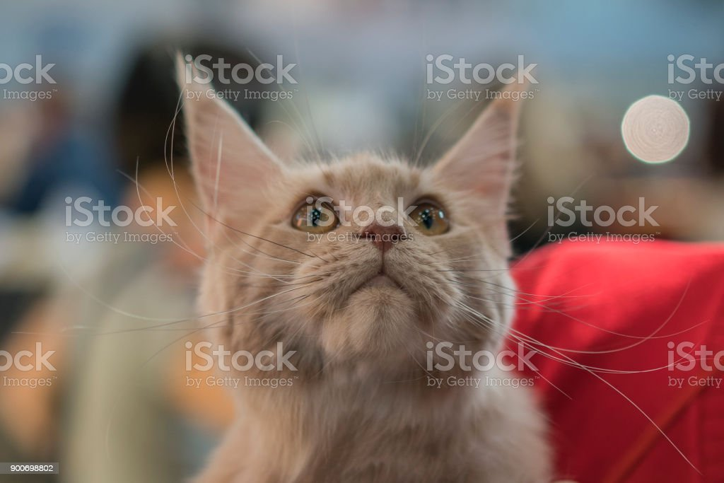 chocolate-colored cat with a begging look, close-up stock photo