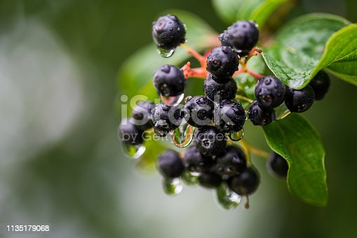 close up shot of chokeberries with raindrops after rainfall