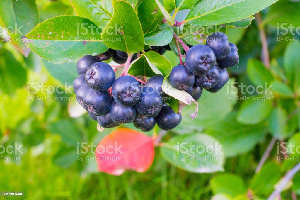 chokeberry bunch on bush branches in orchard stock photo