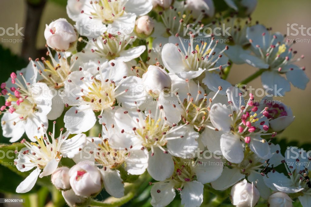 Chokeberry flower. Closeup, macro. Aronia melanocarpa. stock photo