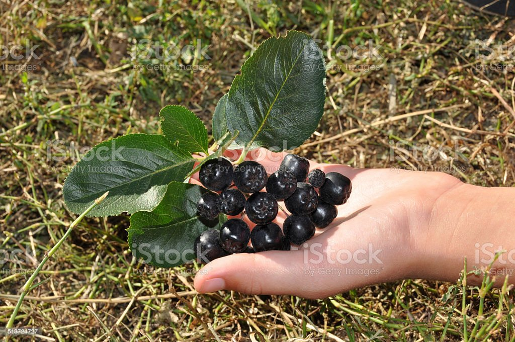 chokeberry in the hand stock photo