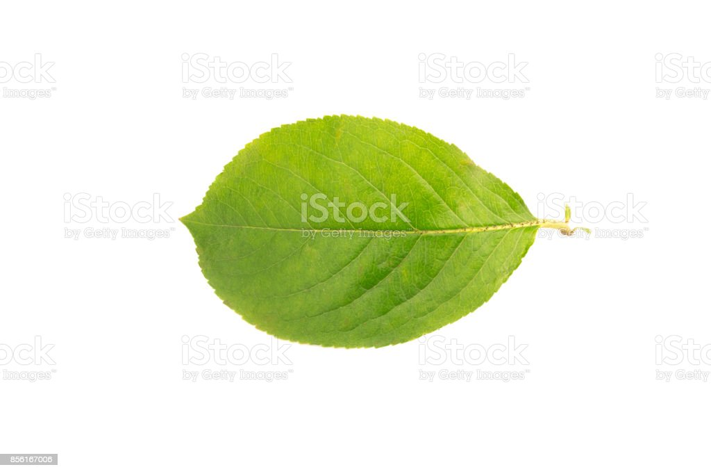 Chokeberry leaf cut out on a white background stock photo