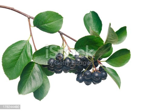 Isolated chokeberry branch[B]more >