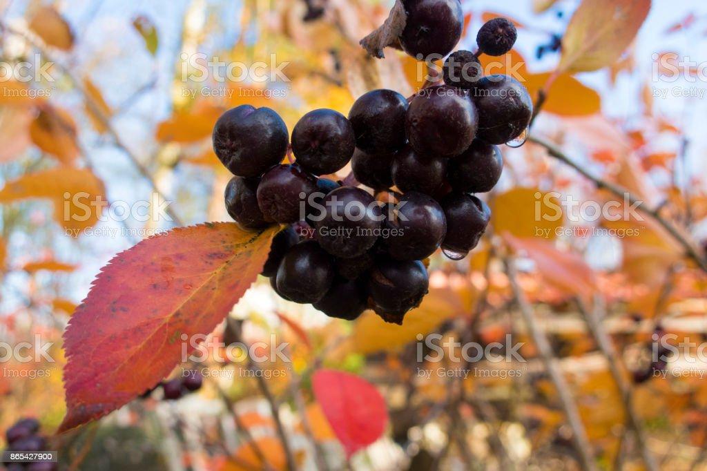 chokeberry stock photo