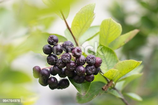Chokeberry fruit.