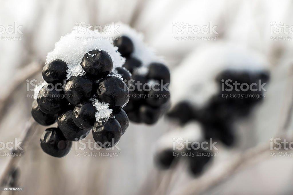 Chokeberry under snow