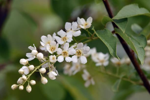 Chokecherry (Prunus virginiana) blossoms stock photo