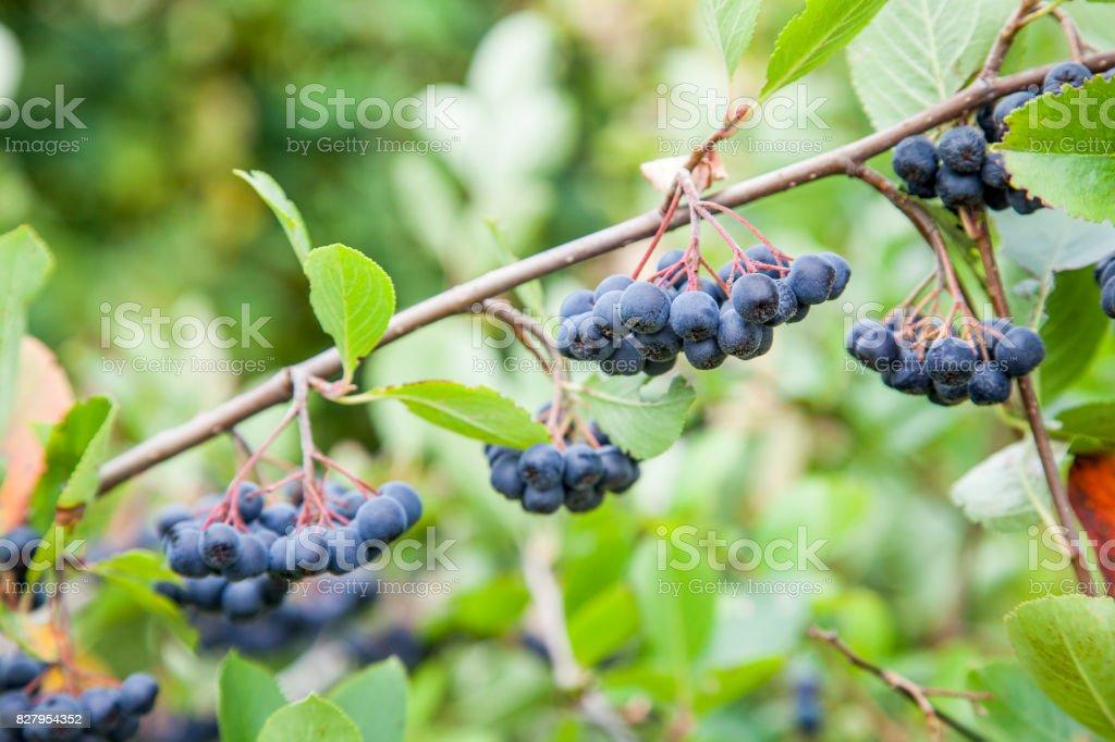 chokecherry (Prunus virginiana) fruit on a branch. stock photo