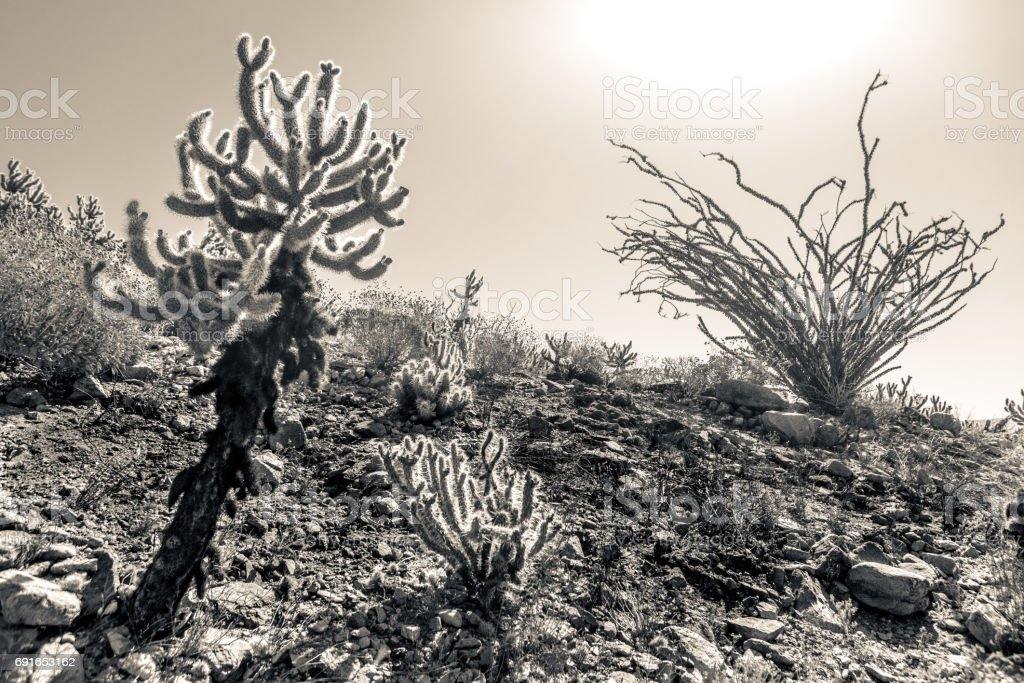 Cholla Cacti & Ocotillo In Harsh Midday Sun, Monochrome stock photo