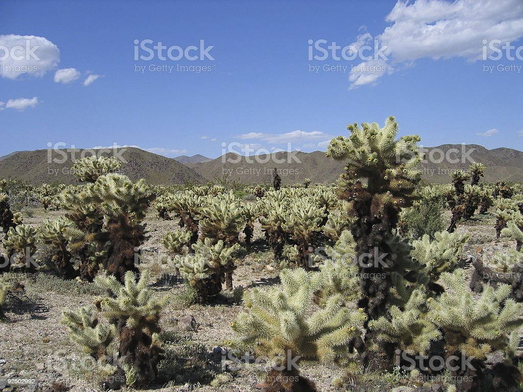 Cholla cacti royalty-free stock photo