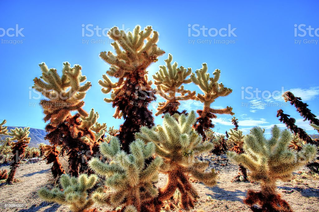 Cholla Cactus Garden at Joshua Tree National Park, California, USA stock photo