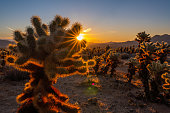 View of a sunrise at Cholla Cactus Garden, Joshua Tree National Park.