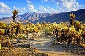 Cholla cactus garden with hiking trail, near sunset, Joshua Tree National Park, California, USA