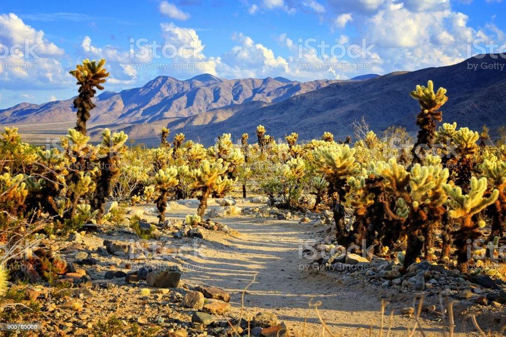 CHOLLA Cactus Garten in der Nähe von Sonnenuntergang, Joshua Tree Nationalpark – Foto