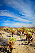 Cholla Cactus Garden at Joshua Tree National Park in California