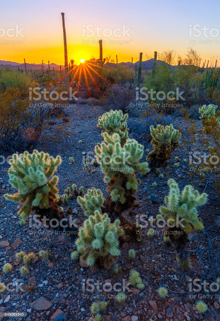 Cholla Cactus in Arizona Desert stock photo