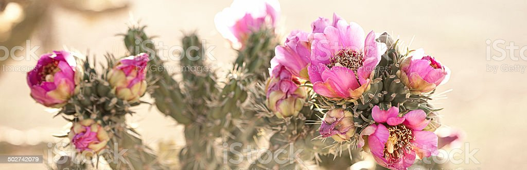 Cholla Cactus in Bloom Panoramic royalty-free stock photo