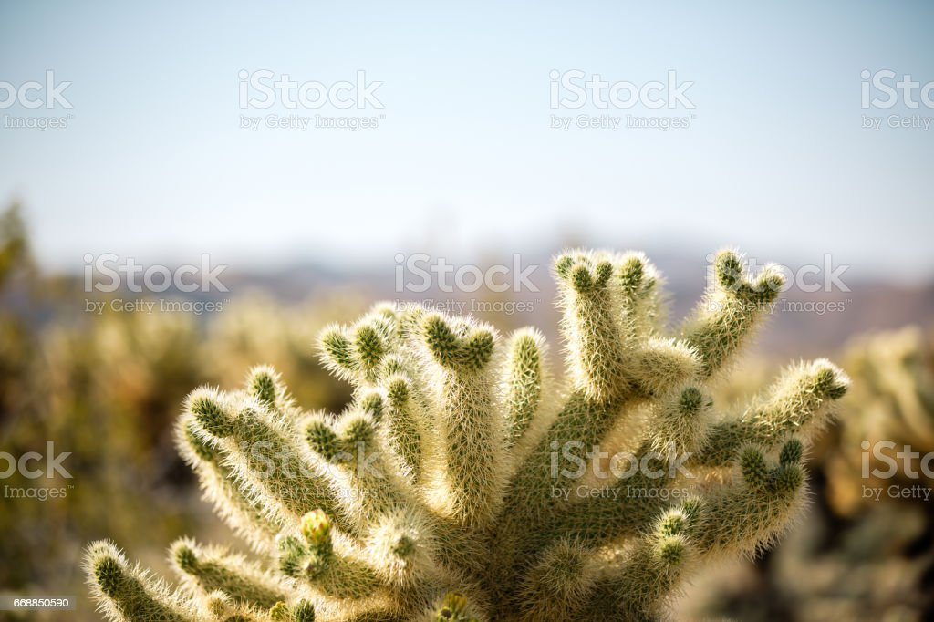 Cholla cactus in Joshua Tree national park on a clear day. stock photo