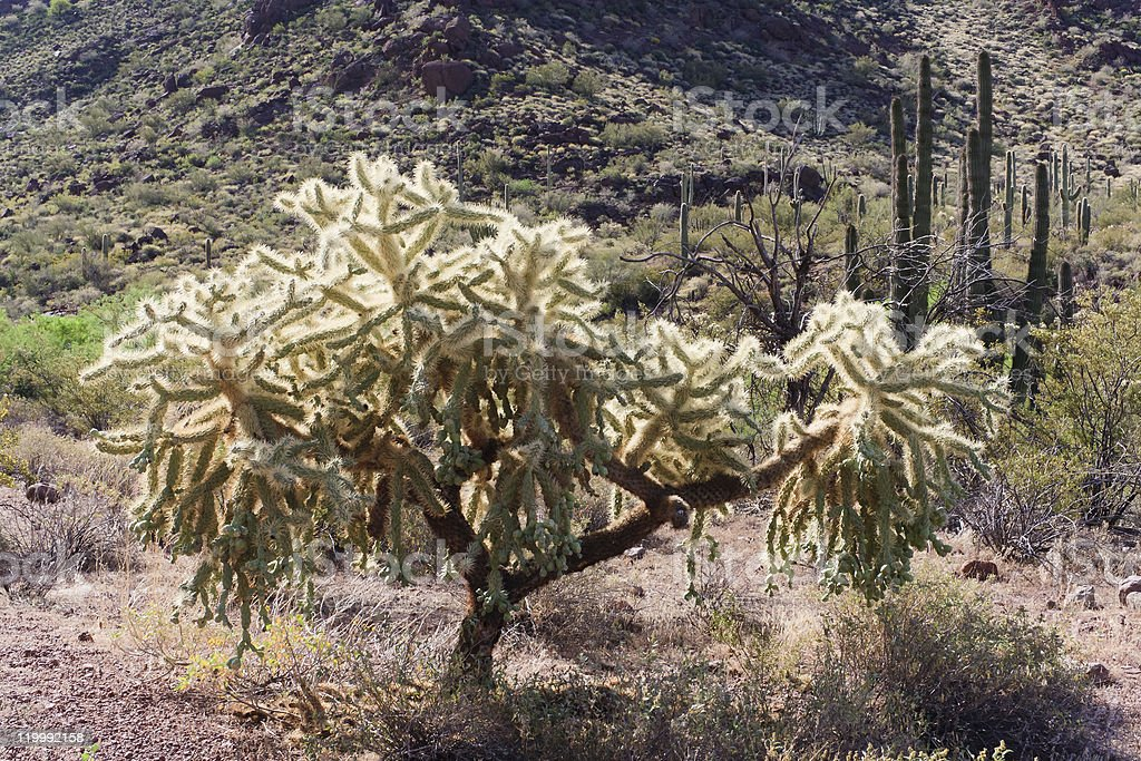 Cholla Cactus in Morning Light royalty-free stock photo