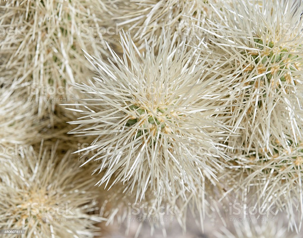 Cholla Cactus, Joshua Tree National Park, California royalty-free stock photo