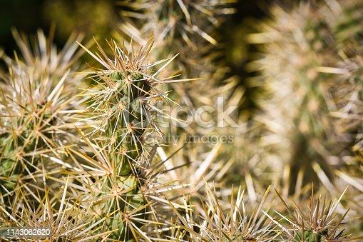 cholla cactus in the desert