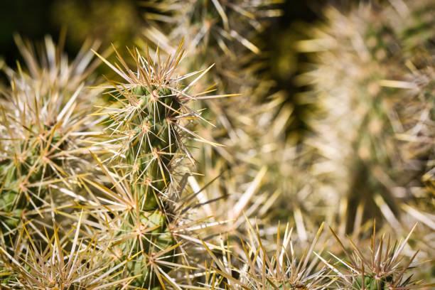 cholla cactus stock photo