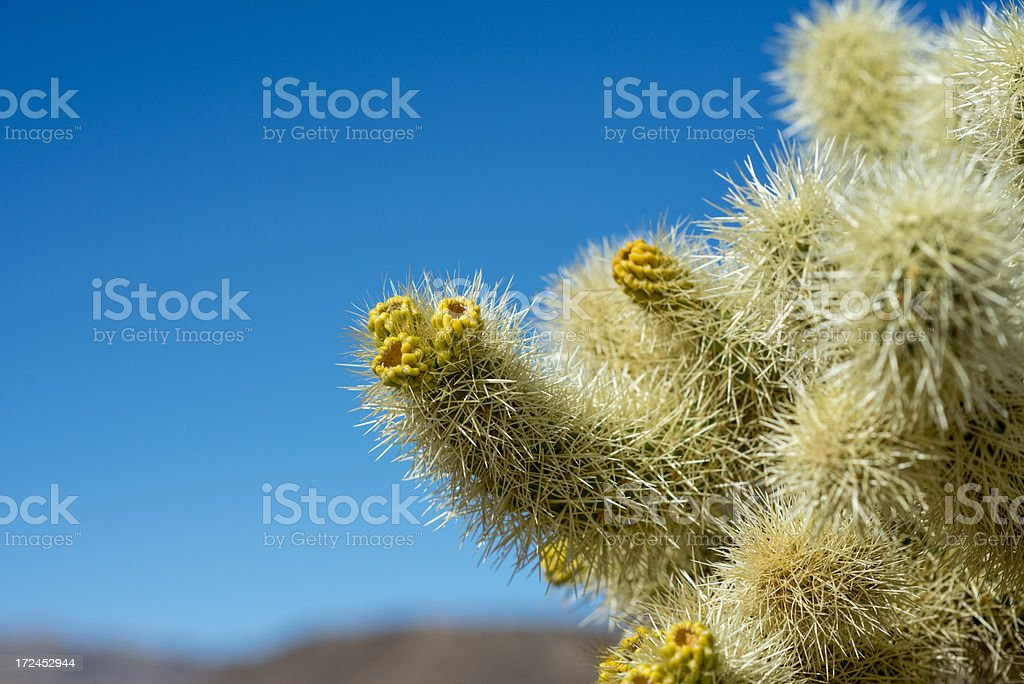 Cholla Cactus royalty-free stock photo