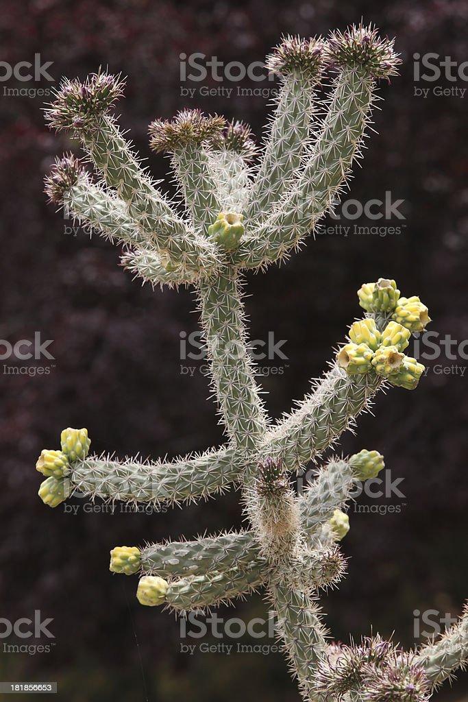 Cholla Cactus Plant Cylindropuntia fulgida royalty-free stock photo
