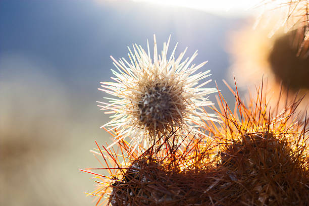 Cholla Cactus spines in the evening sun Joshua Tree Park stock photo