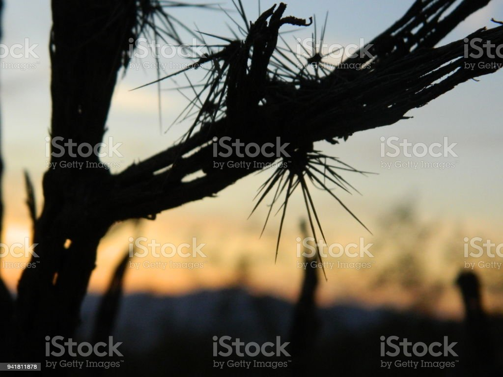Cholla Desert Sunset stock photo