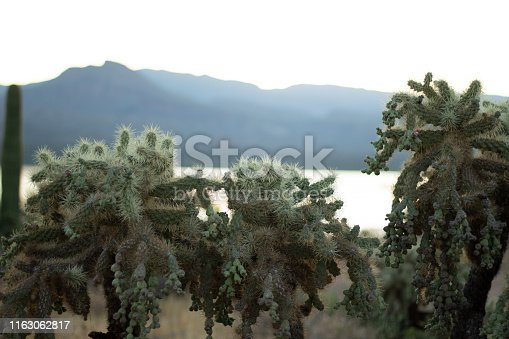 Cholla cacti backlit by sunrise on a lake bay