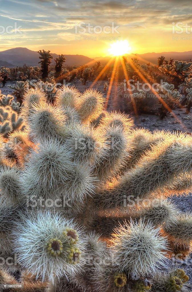 Chollas Cactus Sunrise stock photo