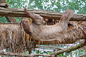 Choloepus Didactylus Two-toed Sloth animal climbing upside down on hanging tree branch