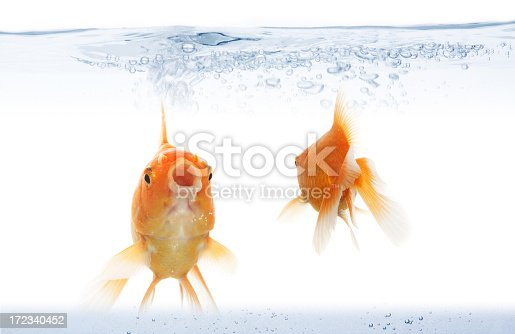 Closeup of two goldfish going forward and backward. choose your way concept