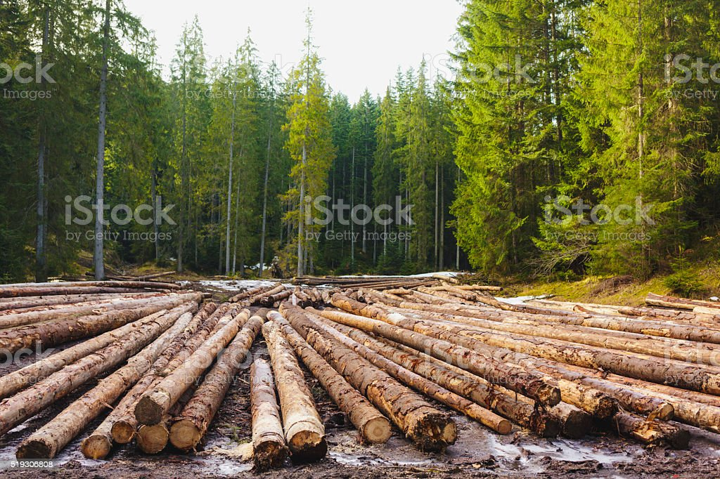 Chopped down trees in wood. stock photo