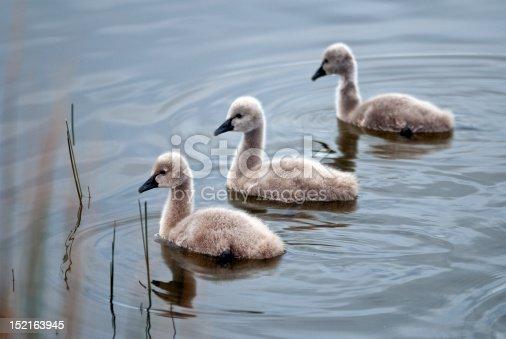 Three choreographed black swan cygnets swimming on lake