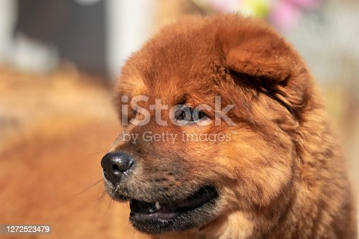 chow chow dog and its beauty