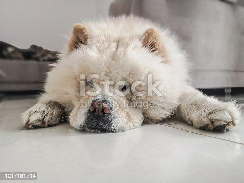 Beige Chow Chow Hund am Relaxen in Wohnzimmer